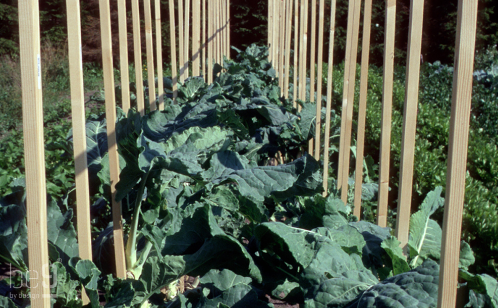 Walkingstick cabbages from top